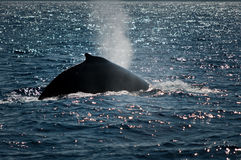Humpback whale exhaling Royalty Free Stock Images