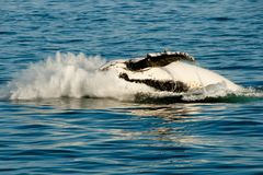 Humpback Whale. In Exmouth - Australia royalty free stock photos