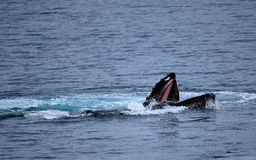 Humpback Whale Feeding Stock Photography