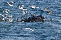 Humpback whale  feeding with sea gulls Royalty Free Stock Images