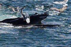 Humpback whale feeding Royalty Free Stock Photos