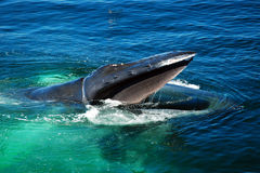 Humpback whale feeding Royalty Free Stock Photo