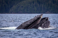 A Humpback whale feeds in South East Alaska. A Humpback whale takes a great gulp of Herring, showing off its magnificent Baleen plates, before slipping back into royalty free stock photo