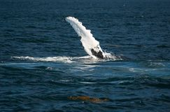 Humpback whale fin. Off the coast of Maine a humpback whale blowing stock photography