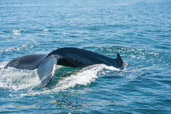 Humpback whale fin stock photos