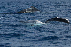 Humpback whale fin and back going down in blue polynesian sea Royalty Free Stock Photo