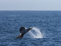 Humpback Whale, Fin stock image