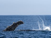 Humpback Whale, Fin stock images