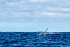 Humpback whale fin in Moorea French Polynesia. Humpback whale fin in pacific ocean Moorea French Polynesia royalty free stock images
