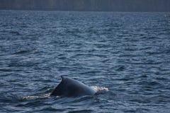 Humpback whale. Fin rising in Skjalfandi Bay, Husavik, Iceland Stock Images