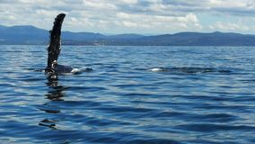 Humpback whale fin slapping stock video footage
