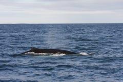 Humpback Whale Fin. Whalewatching in Skjalfandi Bay, Husavik, Iceland Stock Images