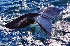Humpback Whale Fluke. The fluke of a Humpback Whale just before diving down stock photos