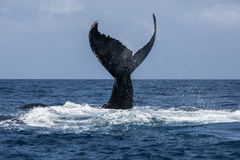 Humpback Whale Fluke in Atlantic Royalty Free Stock Photos