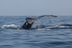 Humpback Whale Fluke Stock Images