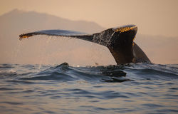 Humpback Whale Fluke. A humpback whale dives in Monterey Bay, California royalty free stock photo