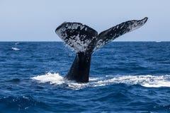 Humpback Whale Fluke Royalty Free Stock Images
