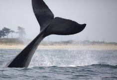 Humpback Whale Fluke Stock Image