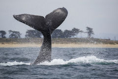 Humpback Whale Fluke Royalty Free Stock Photo