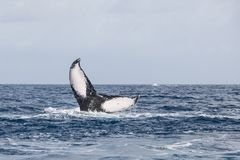 Humpback Whale Fluke Used for Identification. A Humpback whale, Megaptera novaeangliae, raises its huge fluke in the Atlantic Ocean. Each year the North Atlantic Stock Image