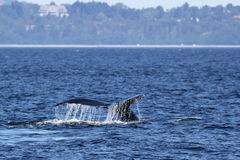 Humpback Whale Fluke Royalty Free Stock Image