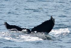 Humpback Whale Flukes. A humpback whale diving off the coast of Santa Barbara, California Stock Photos