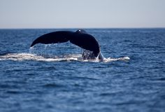 Humpback whale flukes. As it dives in the pacific Stock Image