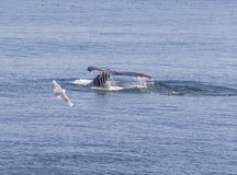 Humpback Whale Flukes Heading Down. In Kenai Fjords National Park Stock Photography