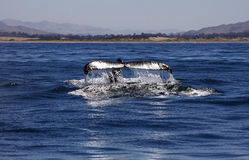 Humpback Whale Flukes in Morro Bay. A humpback whale lifts its tail flukes in the Pacific Ocean and Morro Bay Stock Image