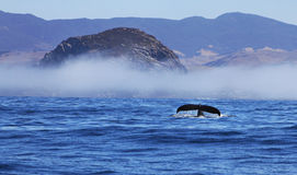 Humpback Whale Flukes at Morro Rock and Fog. A beautiful humpback whale raises her tail flukes in front of the fog shrouded Morro Rock in Morro Bay, California Royalty Free Stock Photography