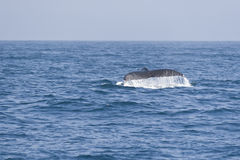Humpback whale fluking tail in the Pacific ocean. Stock Images