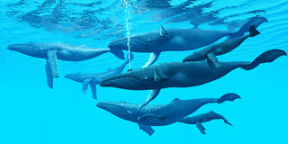 Humpback Whale Group. The Humpback whale is a very social aquatic mammal that gathers in large groups Royalty Free Stock Image