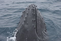 Humpback whale head close-up. Humpback whale in Antarctica seen from a sailing boat Stock Photo