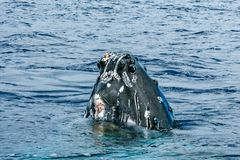 Humpback whale head coming up Stock Images