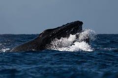 Humpback whale head lunge near Lahaina in Hawaii. Hawaii, Maui, Lahaina, Winter stock photography