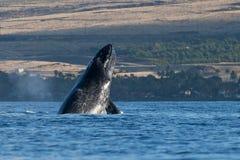 Humpback whale head lunge near Lahaina in Hawaii. Hawaii, Maui, Lahaina, Winter stock photo