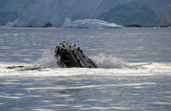 Humpback whale head Stock Images