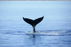 Humpback Whale in Hervey bay Australi Royalty Free Stock Photography