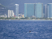 Humpback Whale, Honolulu, Oahu, Hawaii Stock Images