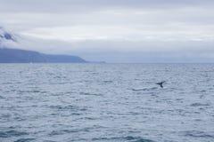 Humpback whale. Near Husavik bay, Iceland Royalty Free Stock Images