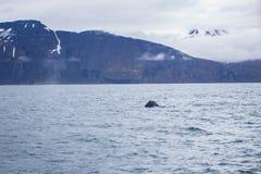 Humpback whale. Near Husavik bay, Iceland Stock Images