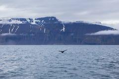 Humpback whale. Near Husavik, Iceland Stock Image
