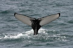 Humpback whale, Iceland, Atlantic Ocean Royalty Free Stock Image