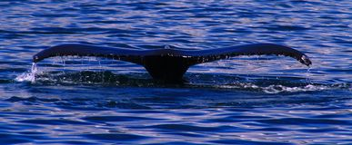 Humpback whale, Iceland. Tail fin of humpback whale near Husavik, Iceland royalty free stock photos
