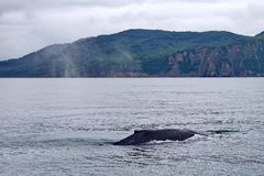 Humpback whale. Its name is either due to the dorsal fin, a form resembling a hump royalty free stock photos