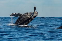 Humpback whale while jumping breaching. Humpback whale breaching on pacific ocean background stock image