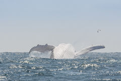 Humpback Whale jumping, Ecuador. Humpback Whale jumping in Puerto Lopez, Ecuador Stock Photography