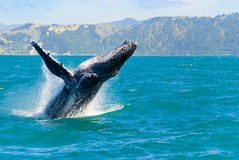Humpback Whale Jumping Out Of The Water. Massive humpback whale playing in water captured from Whale whatching boat Royalty Free Stock Image