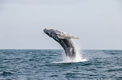 Humpback whale jumping in the peruvian Pacific Ocean. Second stretch royalty free stock photography