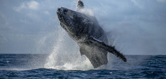 Humpback whale jumps out of the water. Beautiful jump. A rare photograph. Madagascar. St. Mary`s Island. An excellent illustration stock photo
